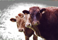 Humeurs de vaches